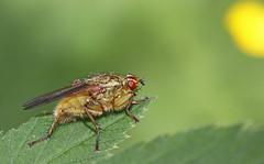 Scathophaga stercoraria (3) (saracenovero) Tags: scathophagastercoraria scathophagidae diptera flies fliesoflithuania mazeikiai 2014