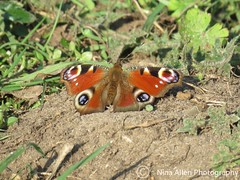 Peacock butterfly, suffolk (nina1688) Tags: peacockbutterfly butterfly insect insectphotography colourful beauty