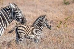 Mommy and Me (helenehoffman) Tags: africa zebra equidae commonzebra conservationstatusnearthreatened mammal equusquagga foal animal lewawildlifeconservancy kenya plainszebra