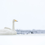 Swans in spring by a lake thumbnail