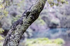Lichen Tree 2019-03-30 (5D_32A2134) (ajhaysom) Tags: tree jenolancaves newsouthwales canon100mmlmacro canoneos5dmkiii australia