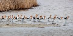 Following the Crowd (RH Miller) Tags: rhmiller reedmiller wildlife bird americanavocet idaho usa