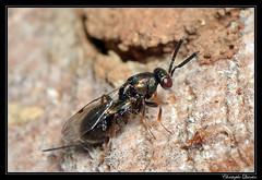 Monodontomerus sp. trying to parasit Osmia cornuta nest (cquintin) Tags: arthropoda hymenoptera torymidae monodontomerus macroinsectes