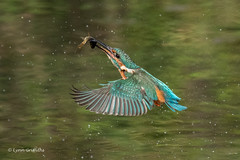 Successful dive 501_3381.jpg (Mobile Lynn) Tags: kingfishersrelatives kingfisher birds nature alcedoatthis aves bird chordata coraciiformes fauna wildlife winchester england unitedkingdom gb coth specanimal coth5 ngc npc