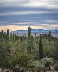 Tucson 071 (tyreedigital) Tags: tucson arizona southwest desert saguaro park outdoors mountains nature nationalpark cactus