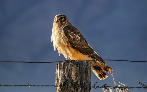 Northern Harrier Waiting For Dinner