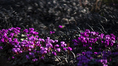 a splash of colour (Redheadwondering) Tags: sonyα7ii mottisfont hampshire nationaltrust 119picturesin2019 sonyf1450mmlens gardens 72magenta cyclamen blackmondograss 72 magenta purple