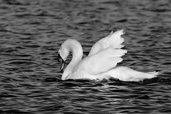 IMG_2487 (LezFoto) Tags: swan mute cygnusolor loirstonloch aberdeen scotland unitedkingdom canoneos700d sigma 700d canon 120400mmf4556dgapooshsm digitalslr dslr canonphotography sigmalens