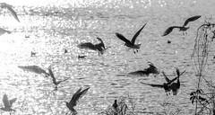 1 (nantes201344 et JeanL) Tags: nantes bretagne roseraie nature oiseaux mouette