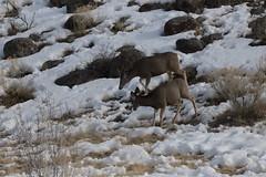 IMG_0617 (ah7925) Tags: deer yellowstone national park wildlife animal