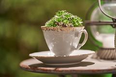 a cup with green (ivoräber) Tags: cup green garden florist giardina