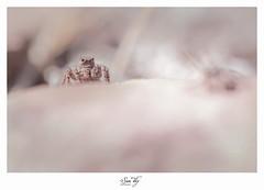 Ms. Hannibal (the world of collembola) Tags: 6d aelurillusvinsignitus araignéesauteuse canon canoneos6d eos6d mpe65 salticidae sitelacdusalagou suntiky arachnide araignée lacdusalagou saltiquesauteuse sauteuse