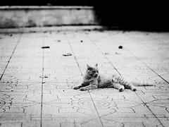 GFX0112 - 3 of 4 (Diego Rosato) Tags: gatto cat borg giardino garden fuji x50r fujinon gf110mm bianconero blackwhite rawtherapee animale pet animal