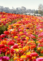 The Flower Fields 3.30.19 12 (Marcie Gonzalez) Tags: the flower fields carlsbad southern california ca flowers attraction attractions destination destinations plant plants petal petals bloom blooming blooms many botanical botanicals light day morning lighting sun sunny daylight natural nature theflowerfieldscarlsbad san diego field rainbow rows color colors bright ranunculus county north america usa socal so cal marcie gonzalez marciegonzalez marciegonzalezphotography photography canon theflowerfields flowerfields blanket cover covered horizon thousands spread 2019