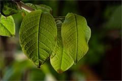 Das erste Grün / the first green (ludwigrudolf232) Tags: blatt grün blattadern