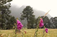 En algún lugar entre Puerto Chacabuco y Coyhaique, Región de Aysén, Patagonia, Chile (Mildred Ehrenfeld) Tags: chile patagonia regióndeaysén coyhaique chacabuco carreteraaustral dedalera digitalis flora