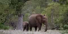 Gemütlichkeit (leendert3) Tags: leonmolenaar southafrica krugernationalpark wildlife nature africanelephant mammals gemütlichkeit ngc npc naturethroughthelens coth coth5