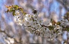 La collina dei ciliegi (Fil.ippo) Tags: springtime primavera milano milan bombo collina ciliegi flowering blossoming fioritura filippo filippobianchi fuji bumblebee collinadeiciliegi