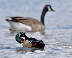 (Melinda G Pix) Tags: nature bird outdoor hunting pond woodduck duck waterfowl