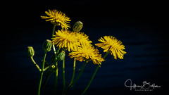 Baylands-8172 (Jeffrey Balfus (thx for 3.3 Million views)) Tags: baylands birds sonyalpha flowers nature sonyilce6300 sony6300 mirrorless sonyemount sony70400mmf45gssmii