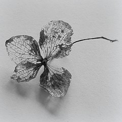 desiccating (quietpurplehaze07) Tags: bw hydrangea flower desiccating macro macromondaysredux2018 redux2018 macromondays november19 centersquarebw