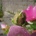 20150713_08 Pink mallow (?) bud with big-ass pollen grains or something on it | Visby, Gotland, Sweden