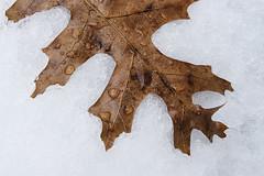 Oak Leaf On Snow (Modkuse) Tags: provia fujiprovia fujifilmxt2provia fujifilmxt2proviasimulation nature natural leaf snow winter fujifilm fujifilmxt2 xt2 xf35mmf2rwr fujinon fujinonxf35mmf2rwr art artphotography photoart fineartphotography fineart abstract texture