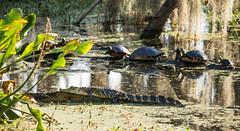 Lazy Swamp Days (ap0013) Tags: swamp gator alligator turtle landscape wildlife nature circleb barreserve lakelandflorida fla