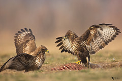 Common Buzzard (Buteo buteo) (zotyesz1) Tags: outdoor nature winter buzzard fighting