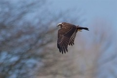 Marsh Harrier (redmanian) Tags: marshharrier bird raptor birdofprey ianredman
