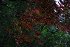 3KB10592a_C (Kernowfile) Tags: pentax cornwall cornish pinetumgarden staustell autumn leaves greens browns reds trees
