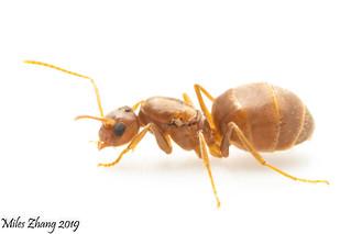 Tawny Crazy Ant Queen (Formicidae: Nylanderia fulva)