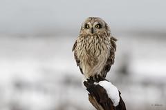 Short-eared Owl / Hibou des marais (shimmer5641) Tags: asioflammeus shortearedowl hiboudesmarais búhocampestre owl strigidaefamily raptor birdofprey birdsofbritishcolumbia birdsofnorthamerica britishcolumbiacanada
