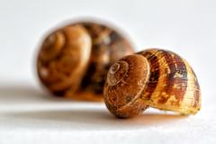 For sale: 1 Previous owner (Dan Elms Photography) Tags: snail shell macro canon danelms danelmsphotography wwwdanelmsphotouk stilllife