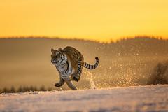 in morning sun (JirikD) Tags: 2019 nikond850 tamronsp7020028g2 zima animal tygr tiger predator winter snow lejla pøíroda bigcat carnivora forest les mammals nature savci sníh šelmy zvíře running