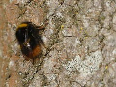 Early Bumblebee (ukstormchaser (A.k.a The Bug Whisperer)) Tags: early bumblebee bee bees bumblebees uk animal animals wildlife milton keynes insect insects tree trees basking bucks buckinghamshire morning