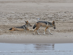 Black-backed jackals (Oleg Chernyshov) Tags: чепрачныйшакал blackbackedjackal canismesomelas