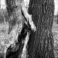 natural contrast (Jos Mecklenfeld) Tags: eik oak natuur nature bos forest boom tree bw