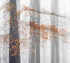 Tall Beech Trees (Rachel Dunsdon) Tags: 2019 hampshire beech doubleexposure trees tall leaves orange