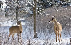 Winter Scene (hd.niel) Tags: whitetaileddeer deer doe buck winterscene nature photography kingstonontario wildlife