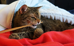 Alice, never bite the stick!!! (Alfredo Liverani) Tags: happy caturday happycaturday cat cats gato intomischief thedarkside canong5x canon g5x pointandshoot point shoot ps flickrdigital flickr digital camera cameras