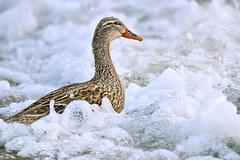 (lucamarasca1) Tags: animal greatshot bestbird lagodigarda wildlife wild explore mothernature nature lake water natura duck