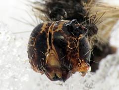 bug of the day (urtica) Tags: framinghamma framingham ma massachusetts usa insect moth caterpillar lepidoptera lymantriidae lymantria lymantriadispar gypsymoth trouvelotscurse