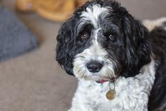 Luna (jackharrybill) Tags: sproodle springer poodle dog canine friendly cute