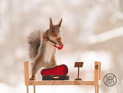red squirrel holding a guitar (Geert Weggen) Tags: redsquirrel red squirrel animal arts author back bow bright classical closeup concert culture cute entertainment equipment horizontal humor instrument music guitar stringinstrument case electricguitar geert weggen hardeko bispgården jämtland sweden ragunda
