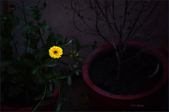 Marigold.. (V Dhyani) Tags: yellowchrysanthemumflower marigold newdelhi delhi india