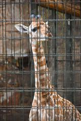 Rothschild's Giraffe Calf (Giraffa camelopardalis rothschildi) (Seventh Heaven Photography) Tags: rothschilds giraffe giraffa camelopardalis rothschildi giraffacamelopardalisrothschildi mburo calf male mum dagmar dad meru baby juvenile animal mammal nikond3200 chester zoo cheshire england endangered