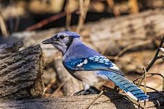Blue Jay (will139) Tags: bluejay cyancittacristata bird avian passerinebird corvidae noisy bold aggressive bossy sitting ornithology wildlife animalsinthewild feathers crest blue beak eaglecreek forest woodland