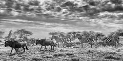 TANZANIA 13 (Nigel Bewley) Tags: wildebeest connochaetestaurinus commonzebra equusquagga tanzania africa wildlife nature wildlifephotography nigelbewley photologo appicoftheweek safari gamedrive sky clouds blackandwhite march march2019 serengetinationalpark canonef1635mmf28lusm canon5dmkii 830nm infrared digitalinfrared advancedcameraservices blackwhite creativephotography artphotography