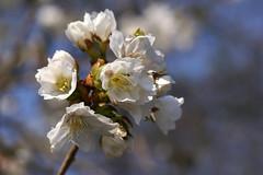 Zierkirsche, japanische / Japanese cherry (Prunus serrulata) (HEN-Magonza) Tags: japanischezierkirsche japanesecherrytree botanischergartenmainz mainzbotanicalgardens rheinlandpfalz rhinelandpalatinate deutschland germany flora spring frühling prunusserrulata